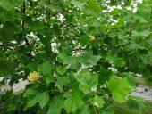 Тюльпановое дерево в июне