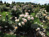 Буйство розового сада