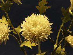 Хризантемы фарфор