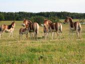 Kiangi - tibetas zirgi