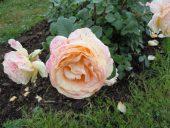 Розы Рундальского сада