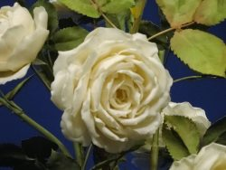Розы фарфор