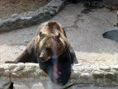 Zoodārzs Cīruļi. Lācis.
