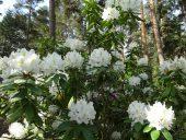 Белый рододендрон