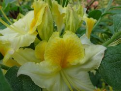 Рододендрон в саду Бабите