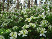 Кусты рододендронов в Бабите
