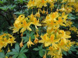 Желтый рододендрон Sweet