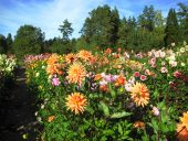 Георгины - осенние цветы