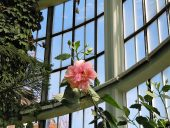 Роза в зимнем саду
