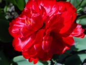 Красные тюльпаны Рундале