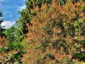 Париковое дерево