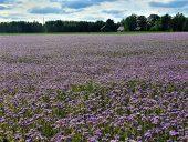 Цветущее поле медоносов