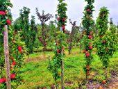 Плантация молодых яблонь