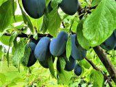 Плоды синей сливы