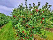 Селекционная яблоня